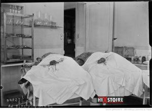 Opérations du docteur Voronoff, pratiquées sur des moutons / 1924